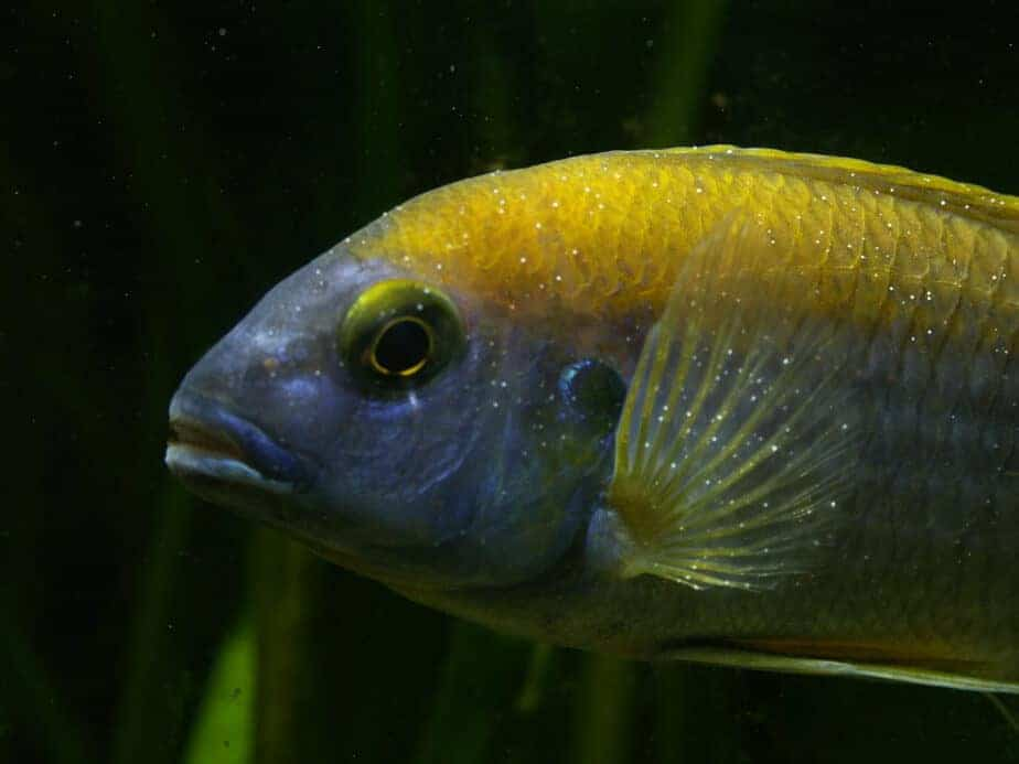 Treat Ich in your Freshwater Aquarium – Fast and Effective