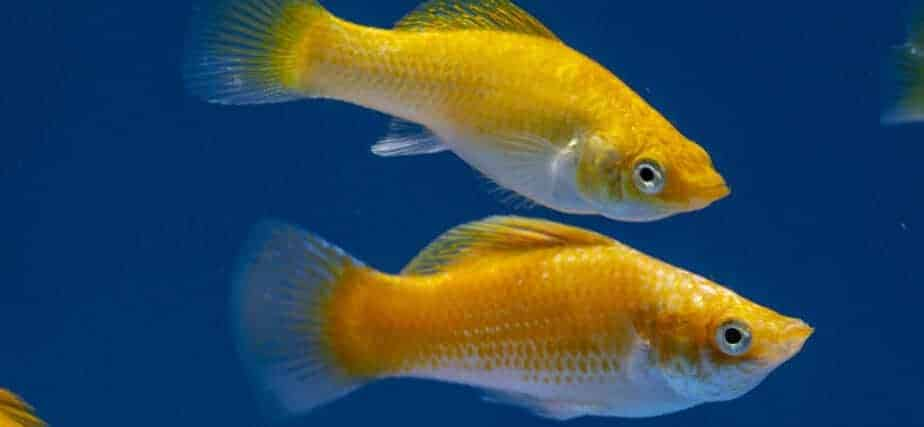 Can Guppies Live Together With Mollies in the Same Aquarium?