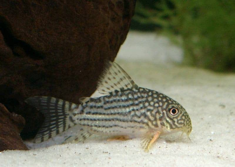 image of a corydoras sterbai fish