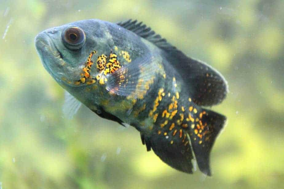 African Cichlids and Oscars can NOT Live Together: Read Why