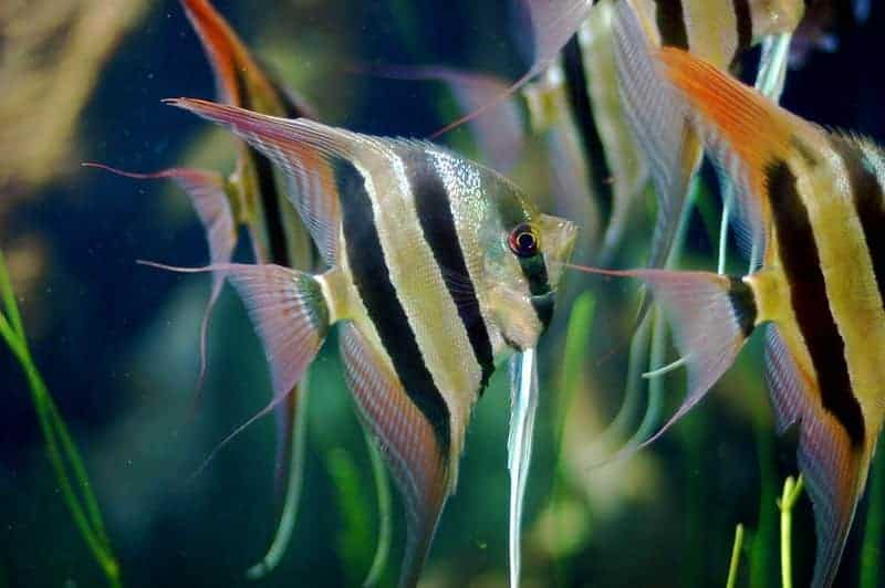 Can Cichlids Live Together with Tetras in the same Aquarium