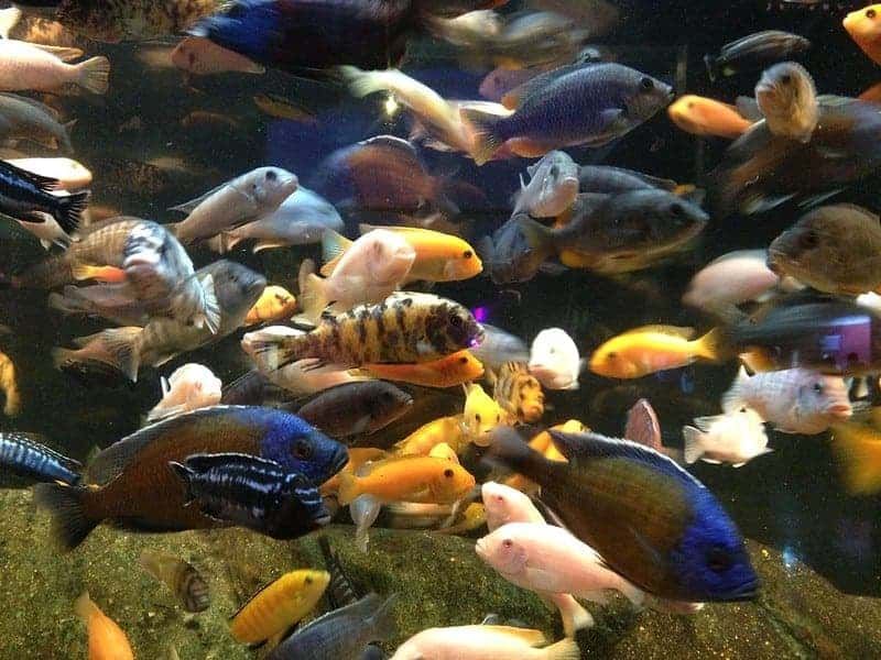 Can African & (South) American Cichlids Live in Cold Water