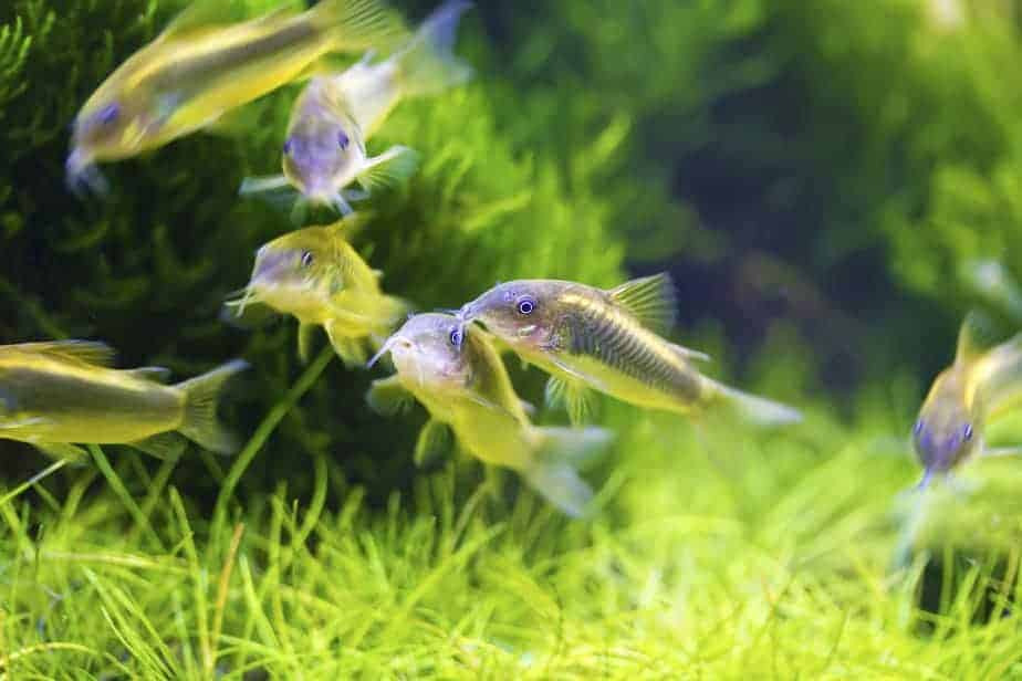 Top 15 Community Aquarium Fish for Beginners With Pictures