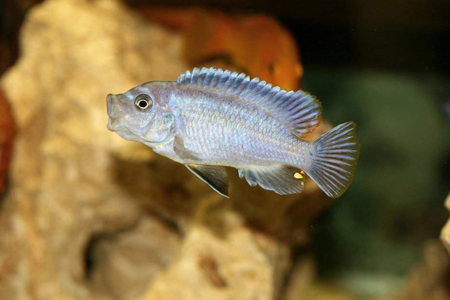 Can Cichlids Live Alone or is that Cruel? The Answer