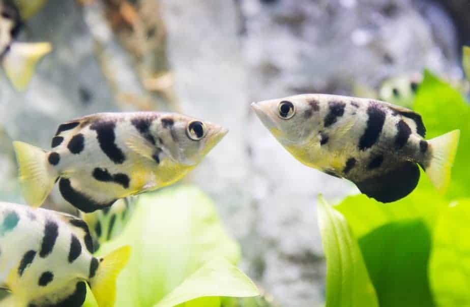 toxotes chatareus, archer fish in Thailand