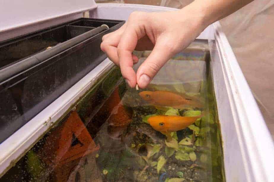 Feeding aquarium fish with dry large food