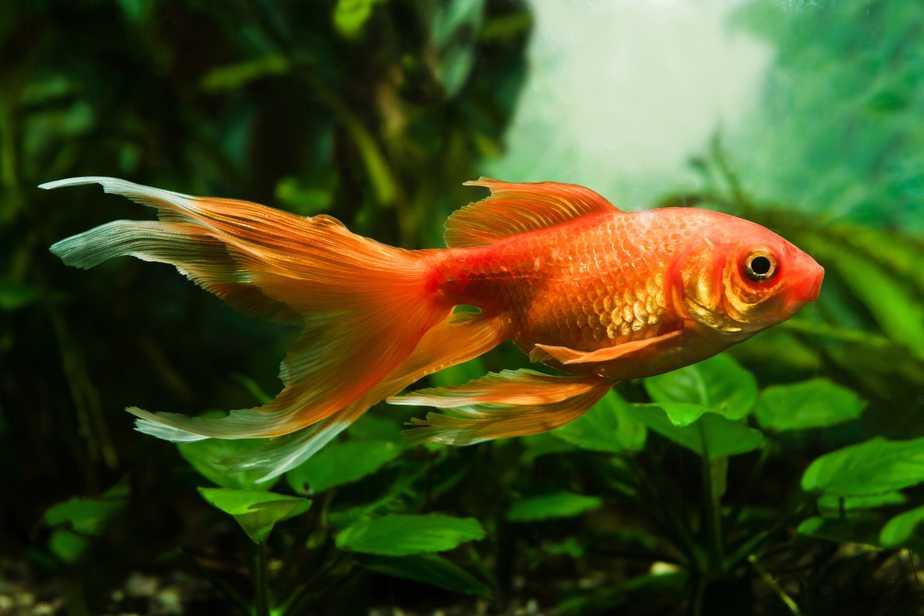 The 10 Best Aquarium Plants For Goldfish (That Will Survive)