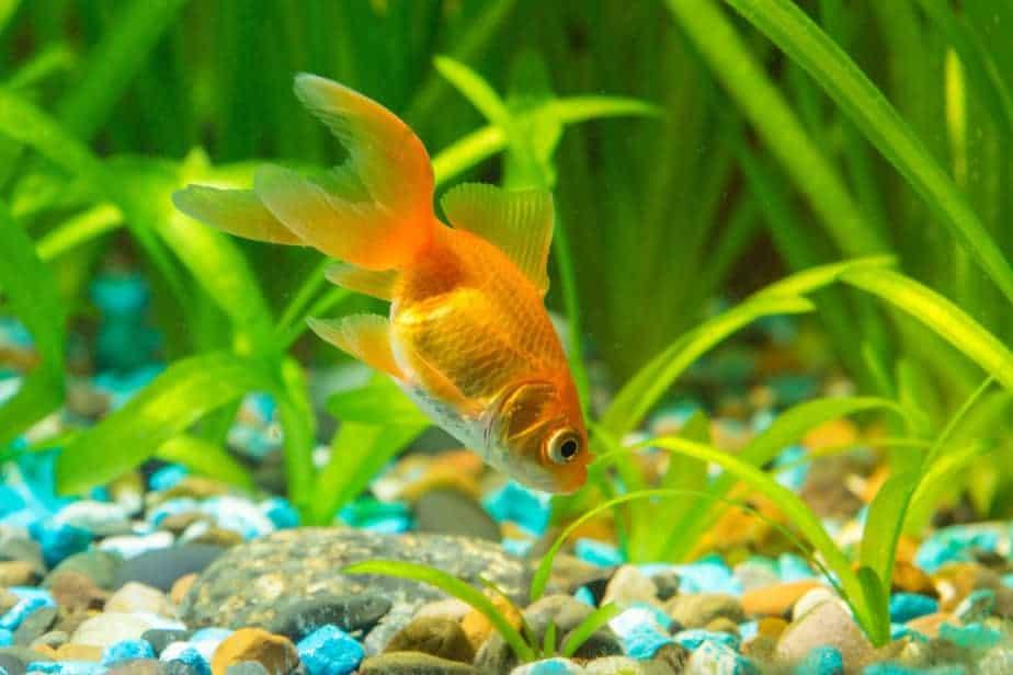 The 10 Best Aquarium Plants For Goldfish That Will Survive Aquarium Genius