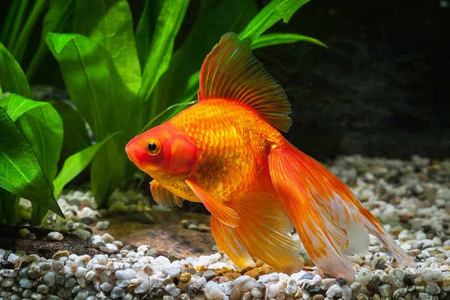 Do Goldfish Sleep (How To Tell, Sleeping Patterns and Tips)