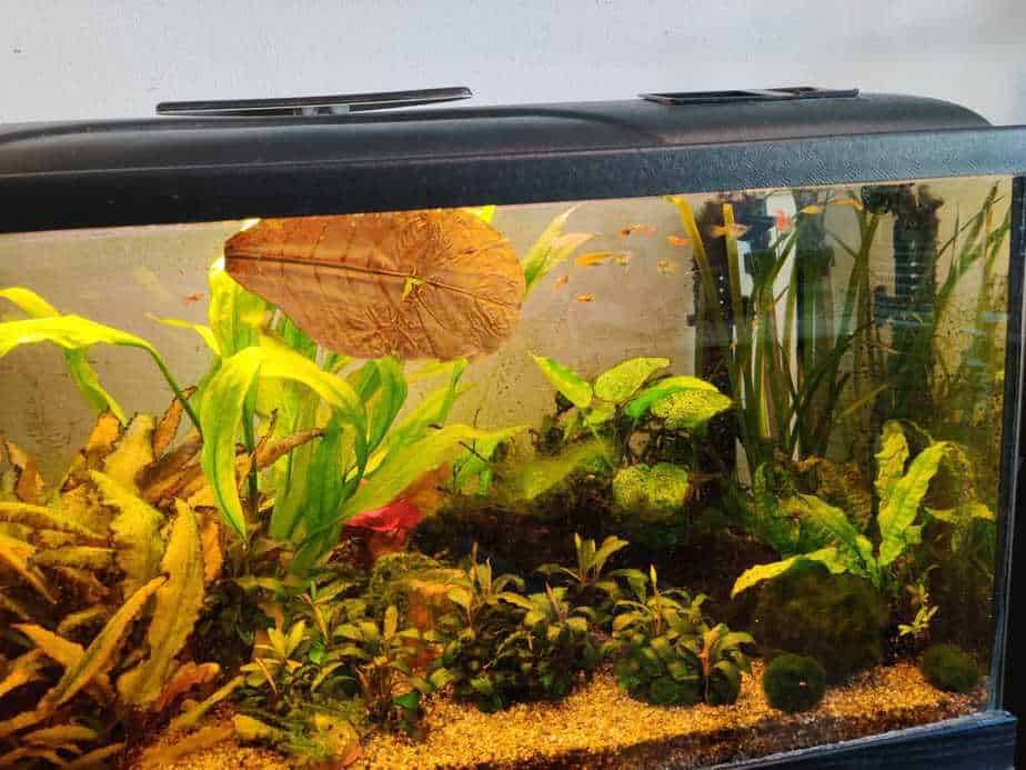 How You Can Use Indian Almond Leaves in your Aquarium