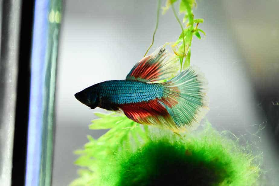 Can Betta Fish Eat Goldfish Food or Not (Quick Answer)
