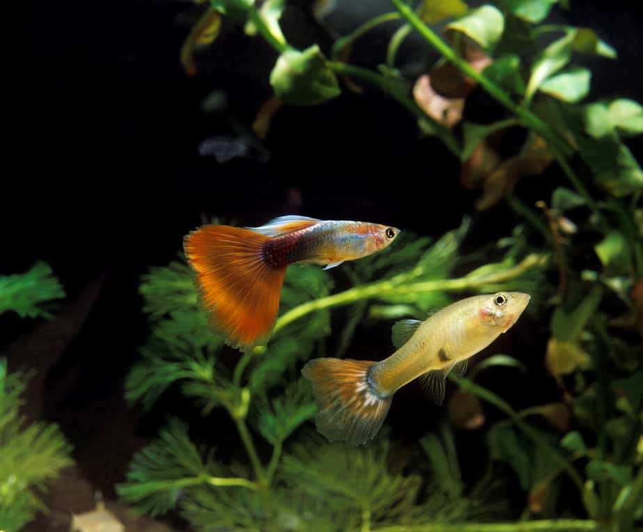 Top 11 Best Plants For Keeping and Breeding Guppies (pics)
