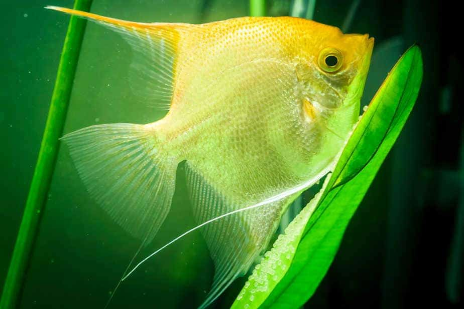 11 Best Aquarium Plants for Angelfish (With Many Pictures)