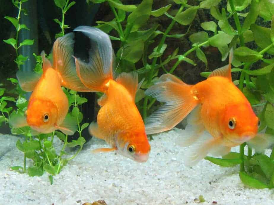 Can Goldfish See in the Dark – Probably Not What You Think