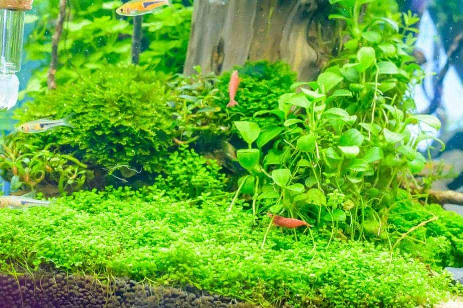 The 10 Best Carpet Plants for Your Aquarium | Some are Easy!
