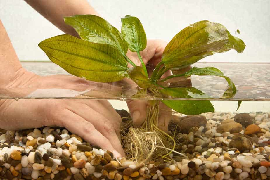 Top 10 Aquarium Plants That Grow in Gravel (With Pictures)