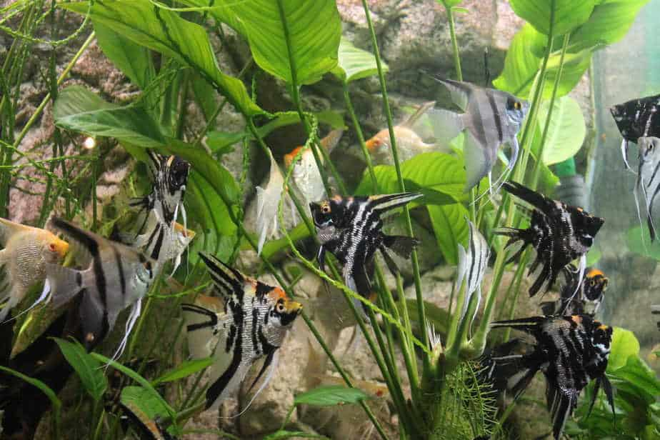 How Long Do Angelfish Live if You Take Proper Care of Them