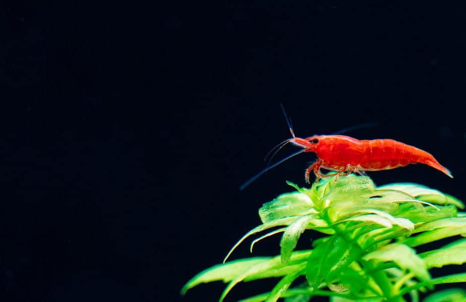 Top 11 Stunning Shrimp Options For Freshwater Aquariums