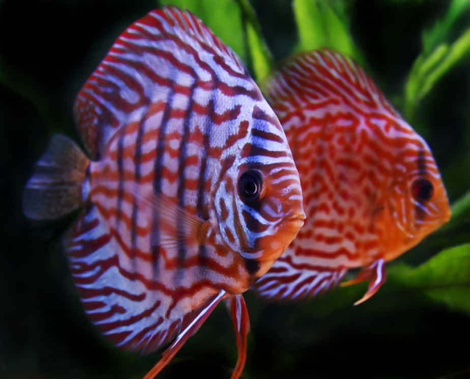 How Long Do Discus Fish Live if You Take Good Care of Them