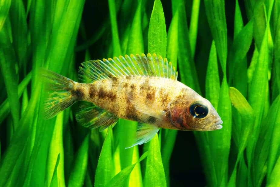 Top 7 Strong Aquarium Plants That Can Withstand Cichlids