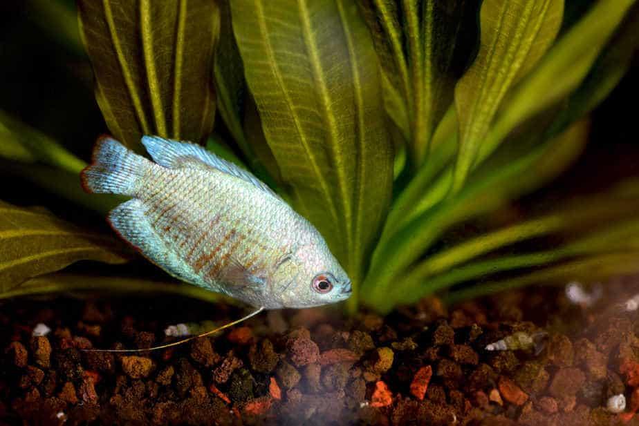 10 Great and Easy Aquarium Plants That Make Gouramis Happy