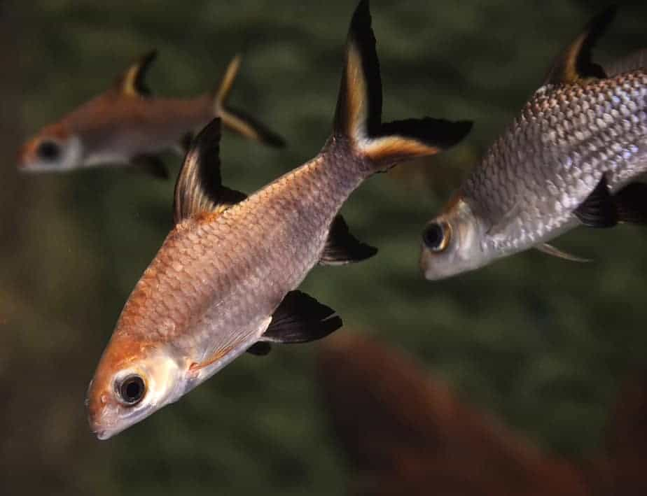 Top 11 Freshwater Aquarium Sharks For Different Tank Sizes