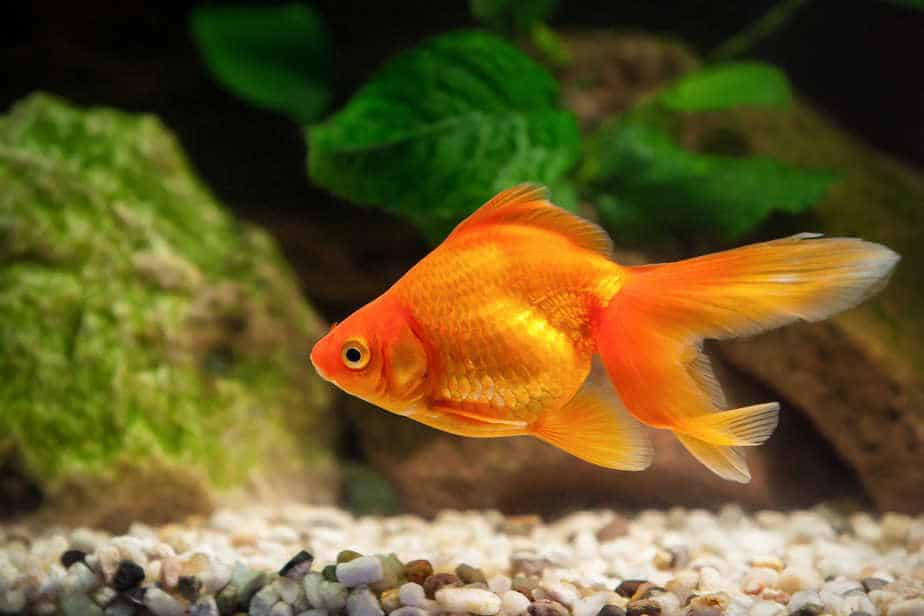 How Long Do Goldfish Live if You Take Good Care of Them?