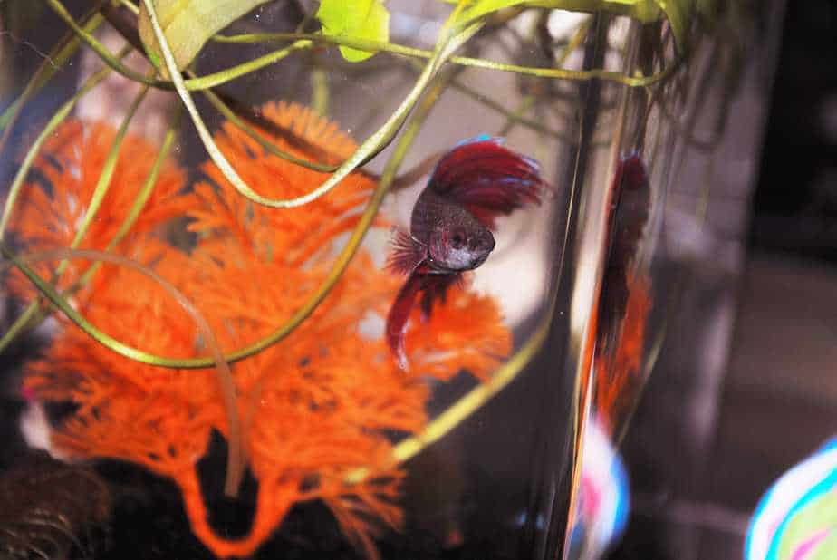 How Long Do Betta Fish Live if You Tank Good Care of Them