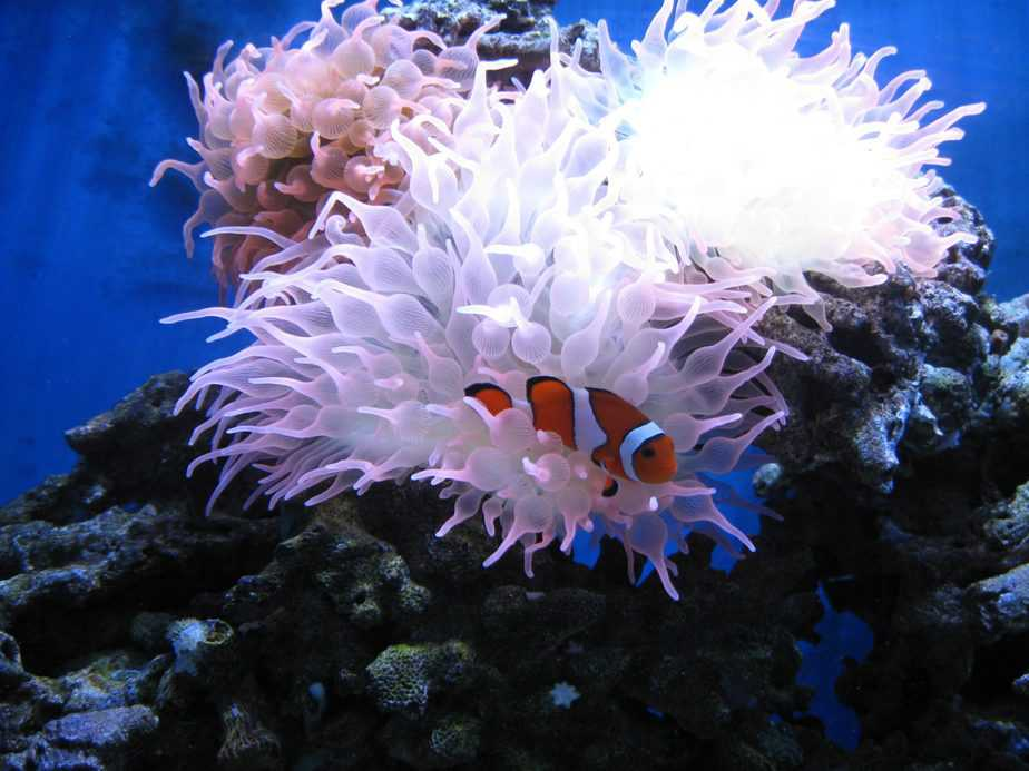 What To Feed Clownfish in Your Home Aquarium?