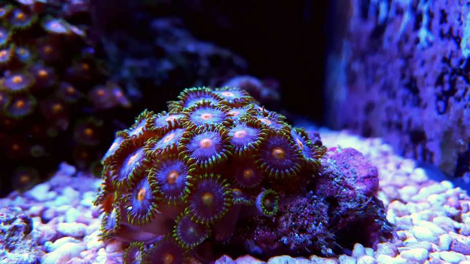 In-Depth Zoanthid Coral Care Guide for Beginners