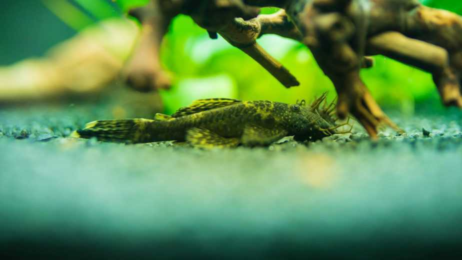How Long Do Bristlenose Plecos Live (With Helpful Tips)