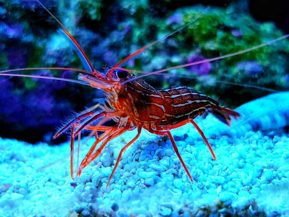 Will Peppermint Shrimp Eat Coral in Your Reef Tank?