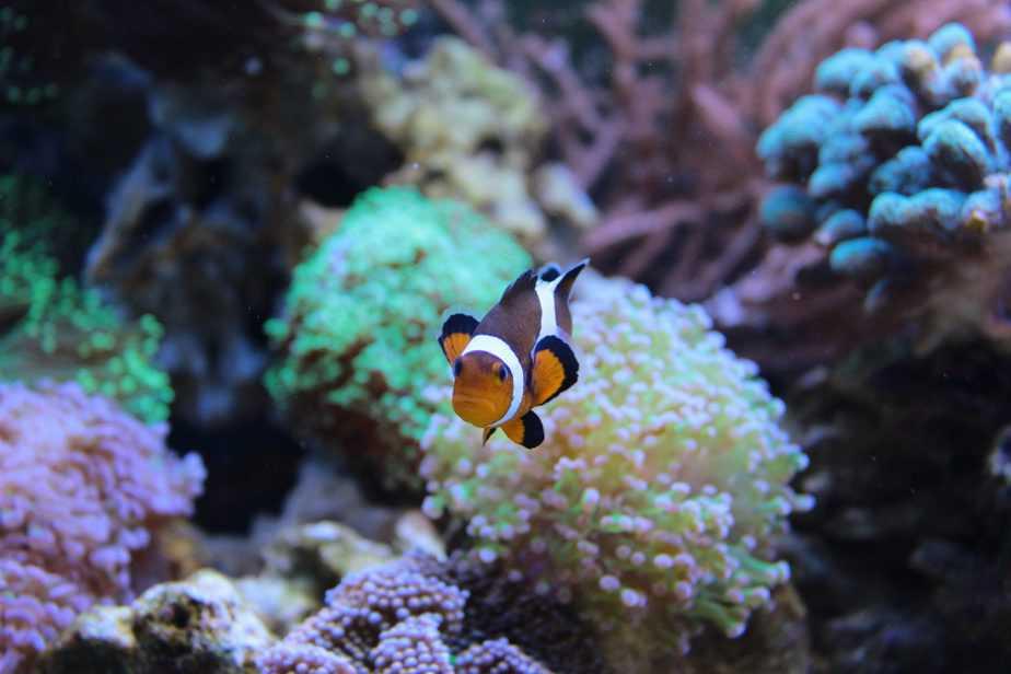 Will Clownfish Host Hammer Coral in a Saltwater Aquarium?